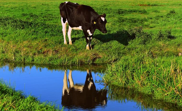 Eine Kuh und ein Fluss, der an einer Weide grenzt.